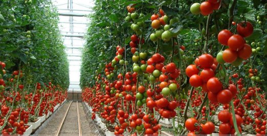 rsz_mari-tomate_japon
